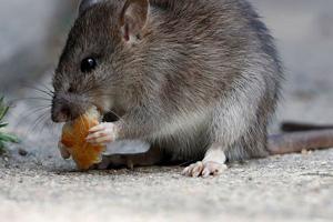 prolifération des rats à paris